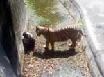 White tiger kills class 12th student inside zoo in delhi
